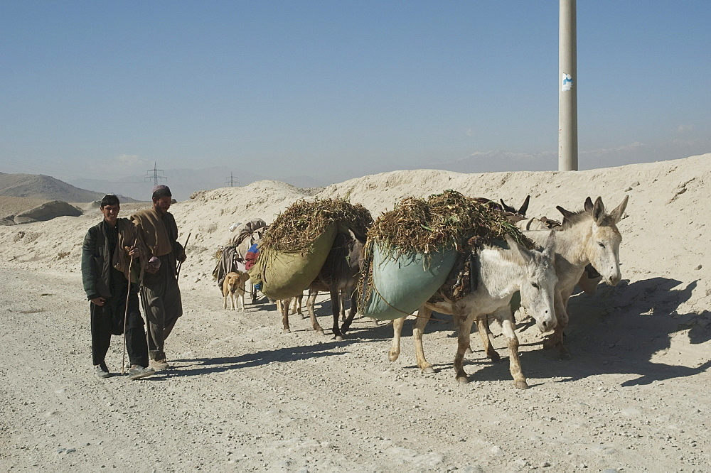 Afghan men and brushwood-laden donkeys in the outskirts of Kabul, , Afghanistan