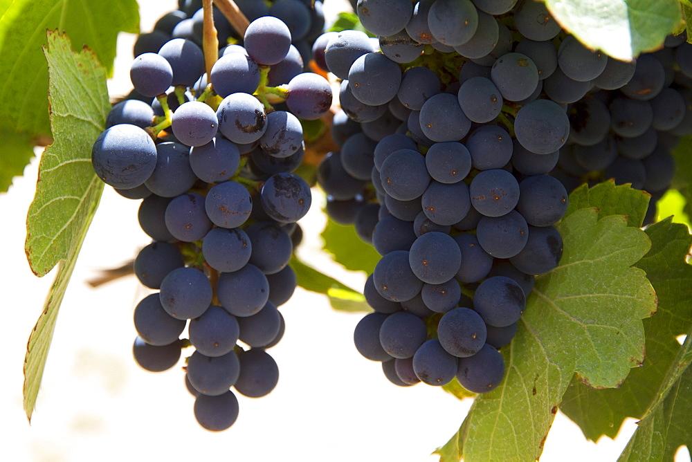 Cabernet Sauvignon grapes on the vine in the vineyard of Finca Las Nubes winery, Cafayate, Salta, Argentina