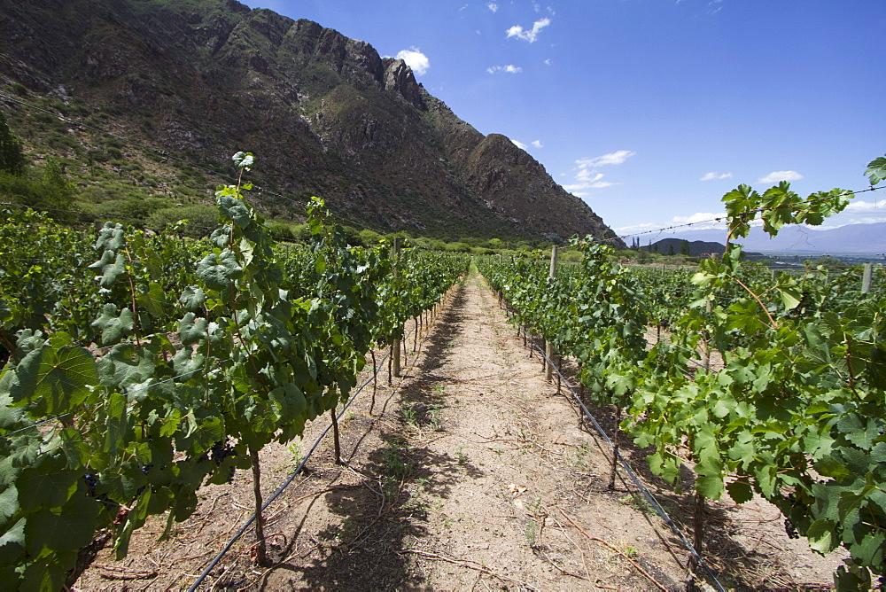 Vineyard of Finca Las Nubes winery, Cafayate, Salta, Argentina