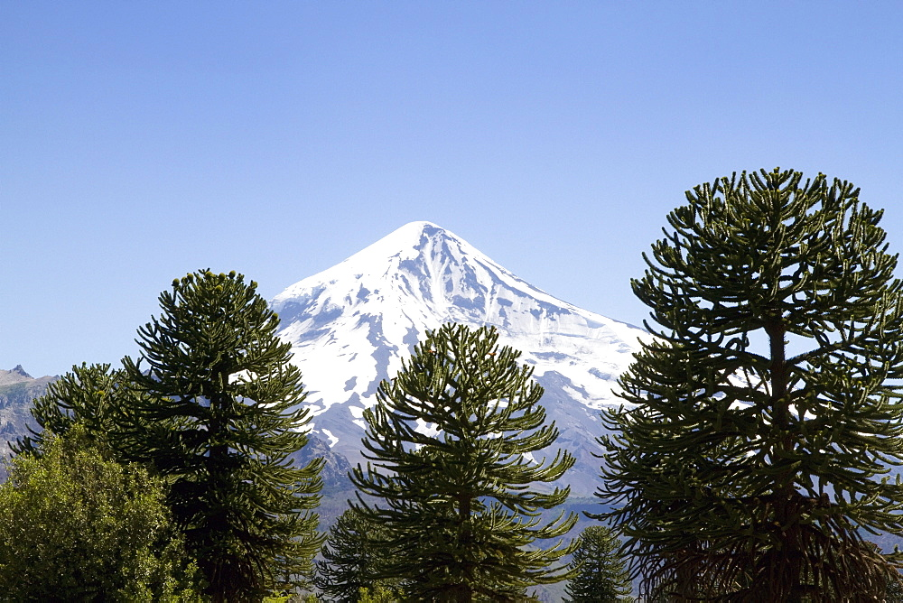 Pehuen or monkey-puzzle trees (Araucaria araucana) and Lanin Volcano, Lanin National Park, Argentina