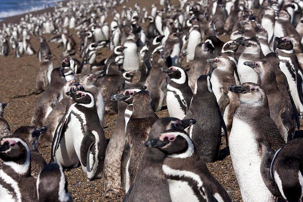 Magellanic Penguins (Spheniscus magellanicus) at San Lorenzo Penguin Colony, Peninsula Valdes, Chubut, Argentina