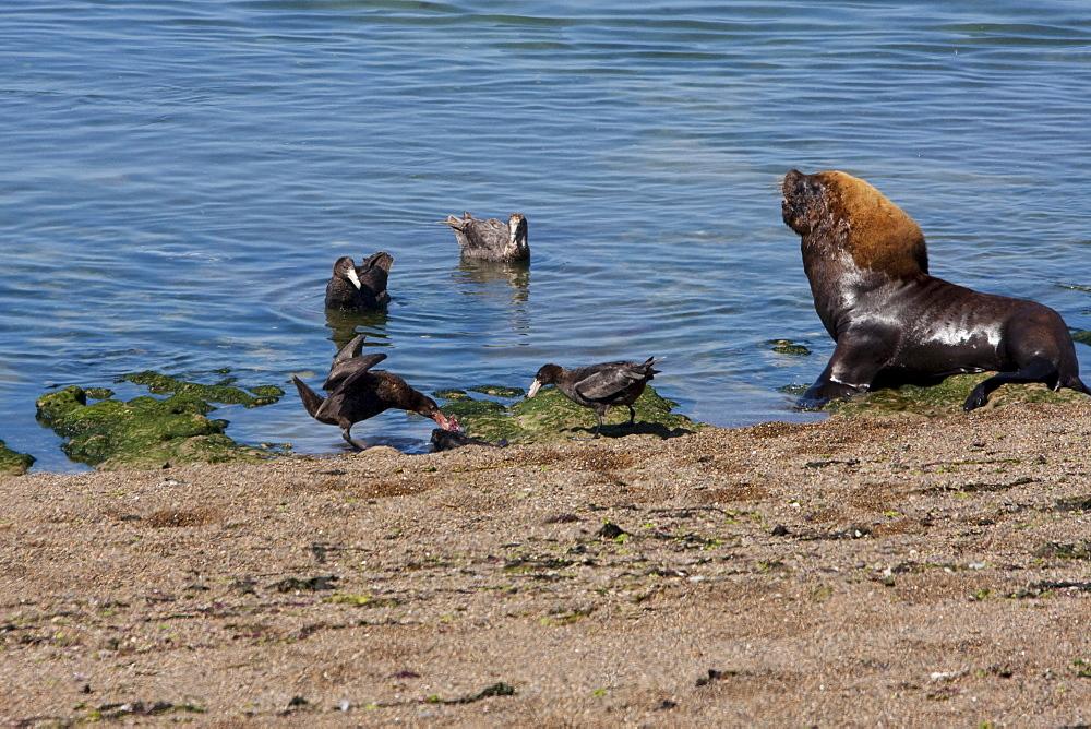 Southern Giant Petrel (Macronectes giganteus) & South American Sea Lion (Otaria flavescens) colony, Peninsula Valdes, Chubut, Argentina