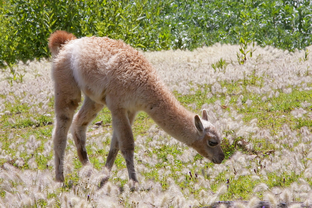 Baby llama in the fields of the Jatun Yampara Indigenous Community, Chuquisaca Department, Bolivia