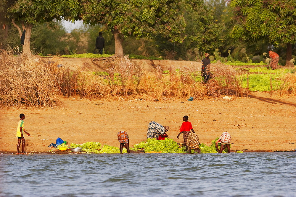People washing lettuce along the shores of the Niger River between Mopti and Lake Débo, Mali
