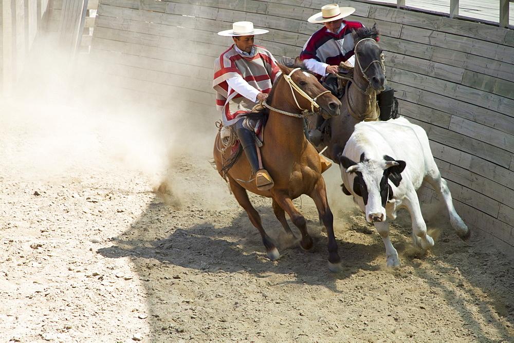 Huasos on horseback corralling a calf during a Chilean rodeo at the medialuna of Estancia El Cuadro, Casablanca Valley, Valparaiso Region, Chile