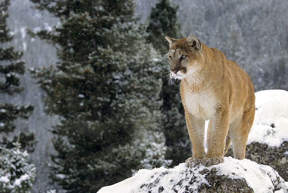 Cougar (Puma concolor) in Winter
