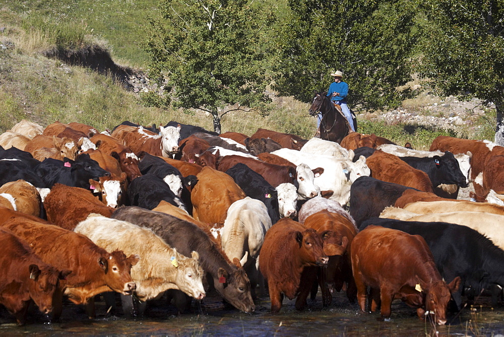 Cowboy Herding Cattle, Pincher Creek, Alberta