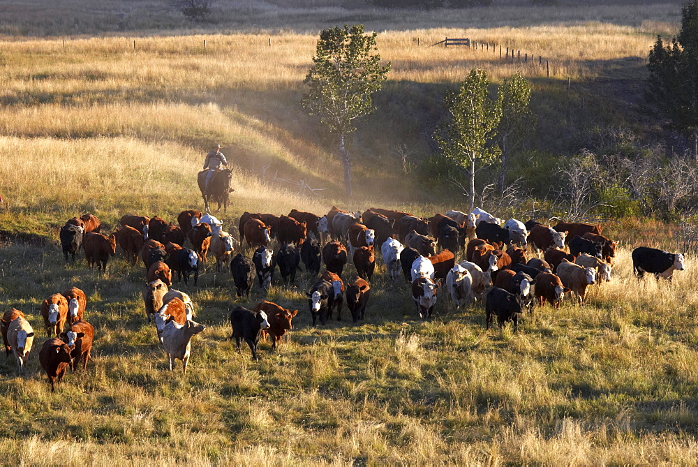 Herding Cattle, Pincher Creek, Alberta