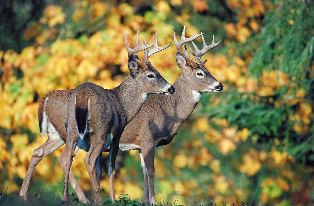 White-tailed Deer (Odocoileus virginianus), North America