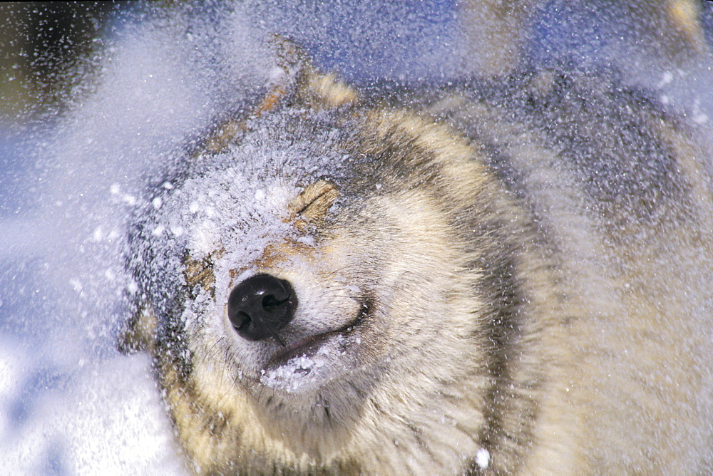 Gray Wolf (Canis lupus) Shaking Snow off Face, Rocky Mountains