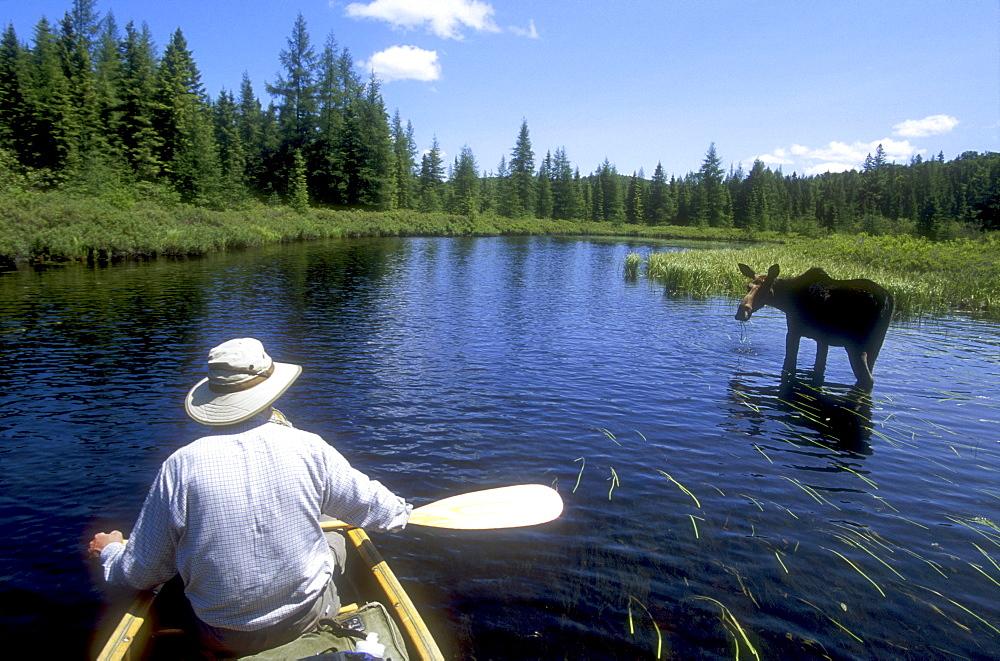 Canoeing past Moose, Algonquin Park, Ontario