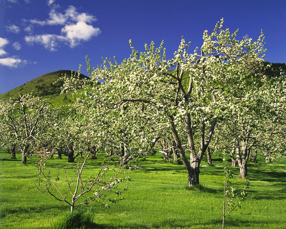 Orchard and Mont Saint-Hilaire, Monteregie Region, Quebec