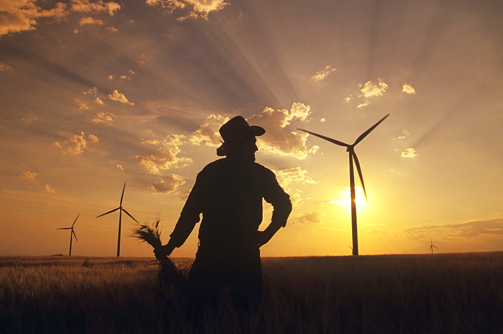 Silhouette of Man Holding Barley in Field with Wind Turbines, near St. Leon, Manitoba