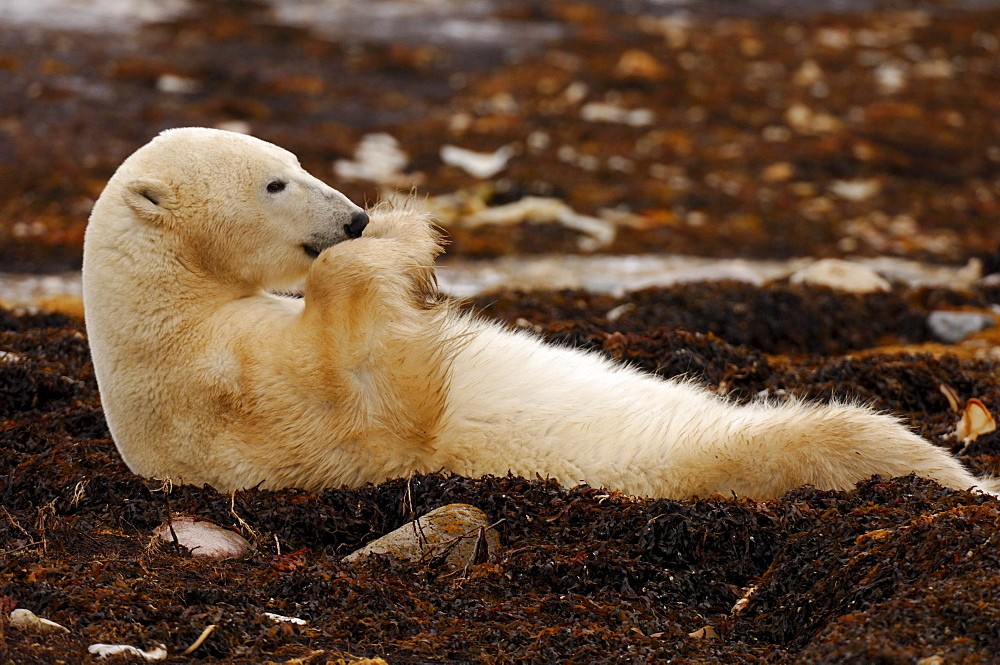 Polar Bear on Tundra near Cape Churchill, Manitoba