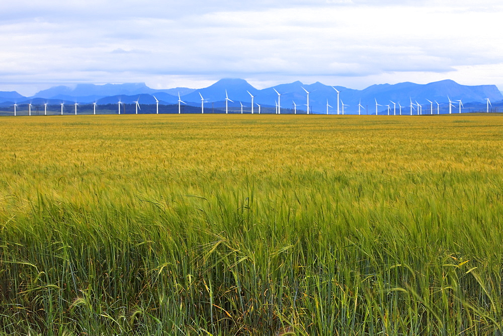 Barley field crop, wind energy turbines and Rocky mountains in distance, Pincher Creek, Alberta