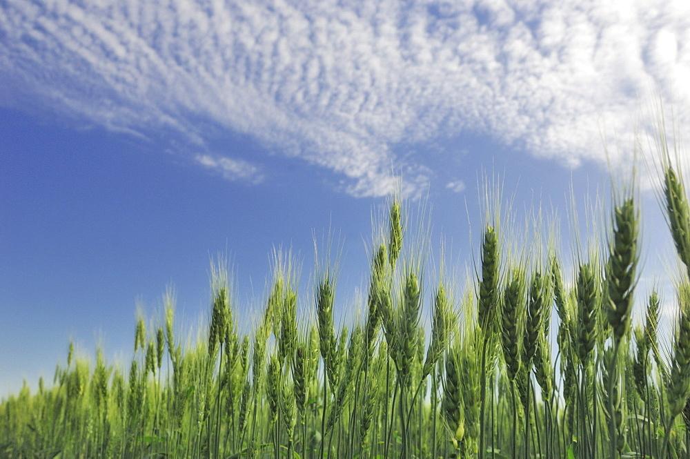 Green crops Northwest of Edmonton, Alberta
