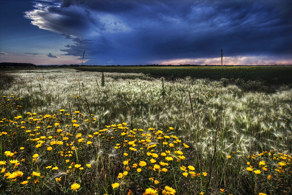 Foxtails and wildflowers on the edge of a wheatfield under storm clouds north of Edmonton, Alberta.