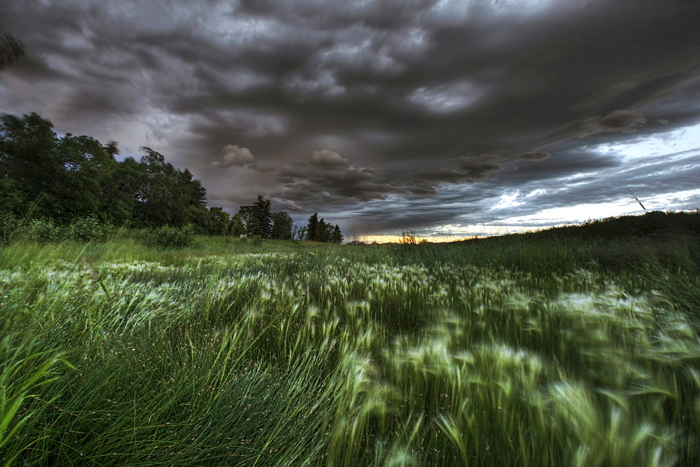 Late evening thunderstorm over foxtails on a farm north of Edmonton, Alberta.