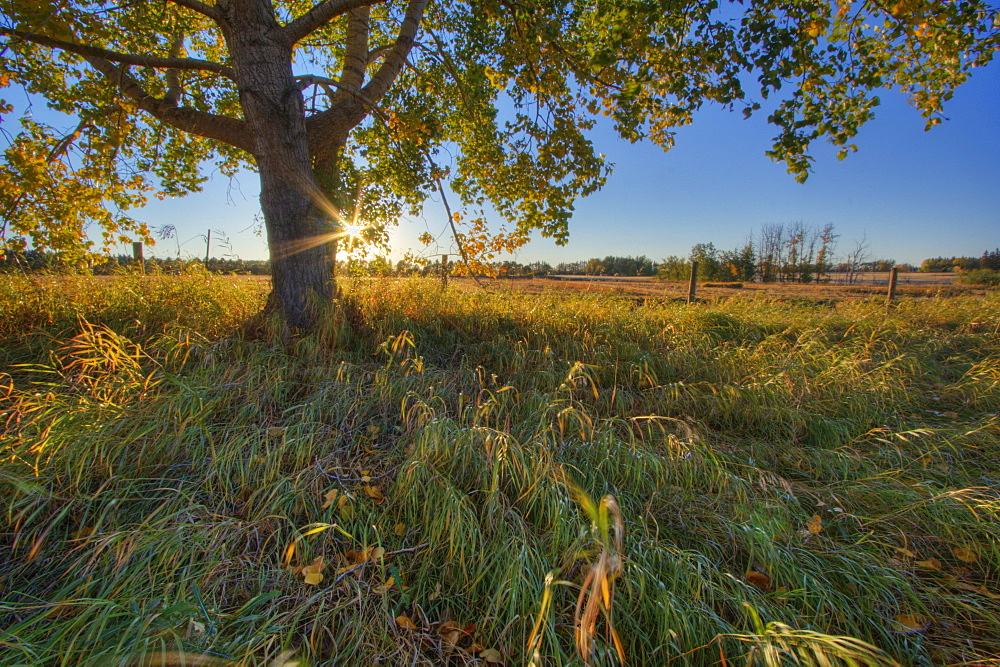 Early evening under an old poplar tree north of Edmonton, Alberta.