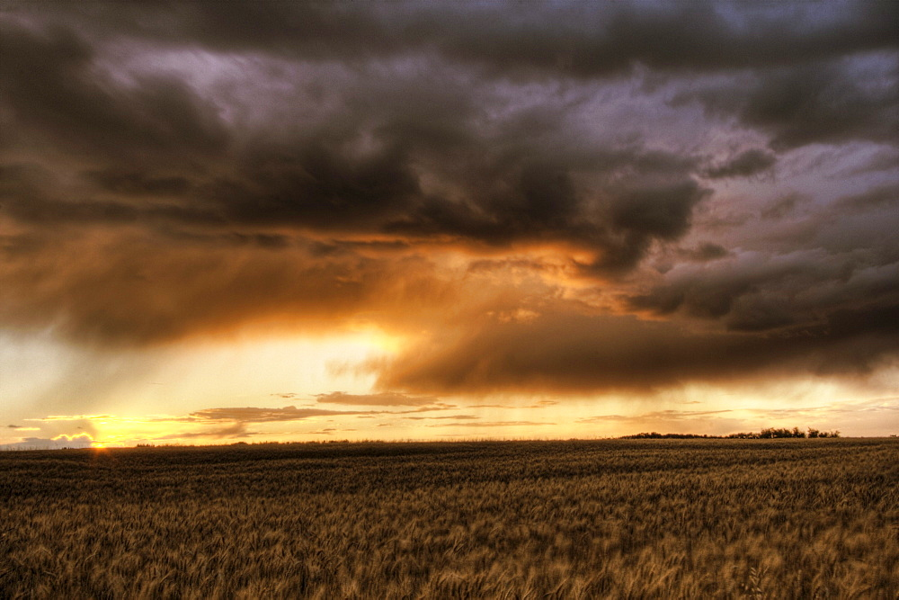 Storm blowing over barley during an autumn sunset on a farm north of Edmonton, Alberta.