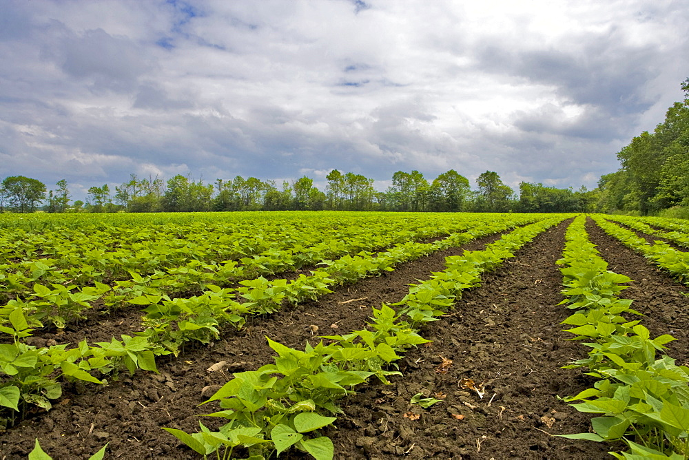 Soybean field, Nobleton, Ontario