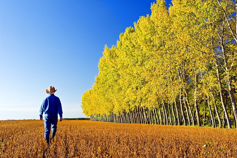 Man scouts a mature harvest-ready soybean field with a shelter belt in the background, near Lorette, Manitoba