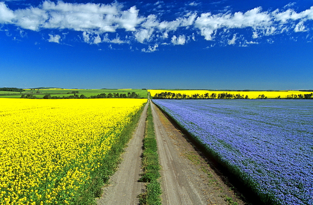 Road through flowering flax and canola fields, Tiger Hills near Somerset, Manitoba