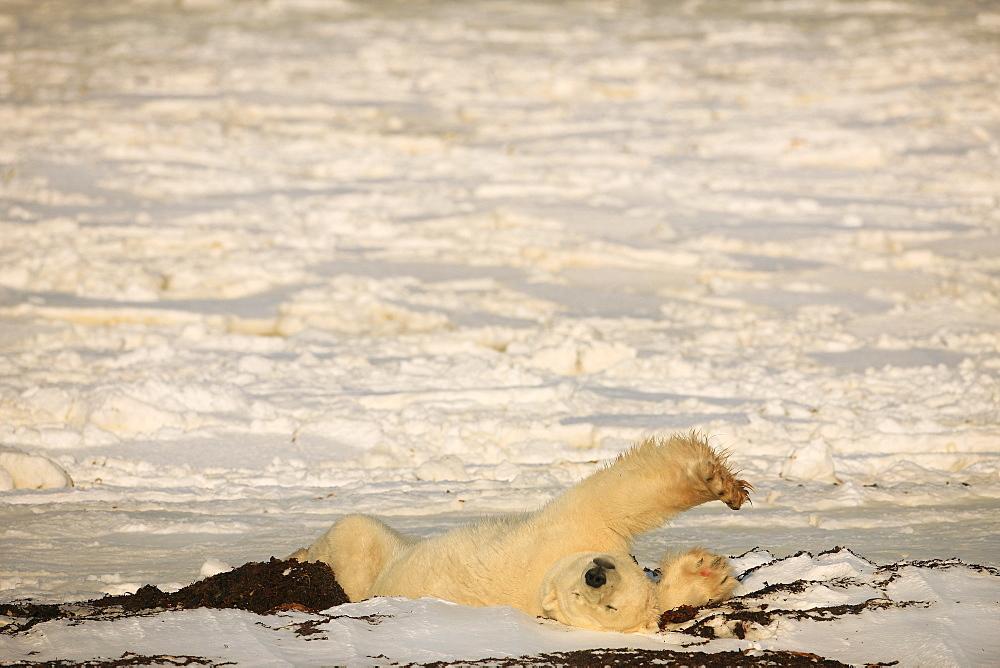 Polar bear stretching, Churchill, Manitoba