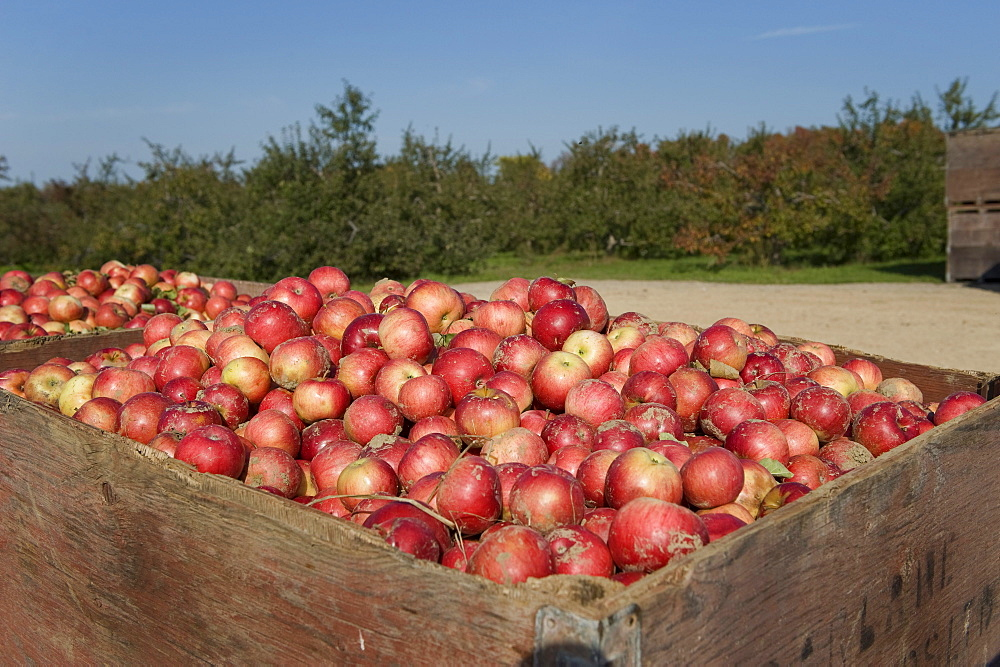 Fresh picked fall harvest apples, Grey County, Ontario