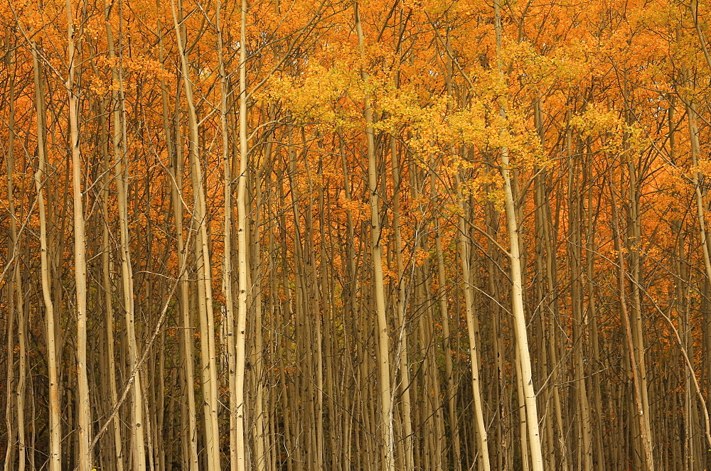 Poplar forest in autumn, Teslin, Yukon - 1116-20367
