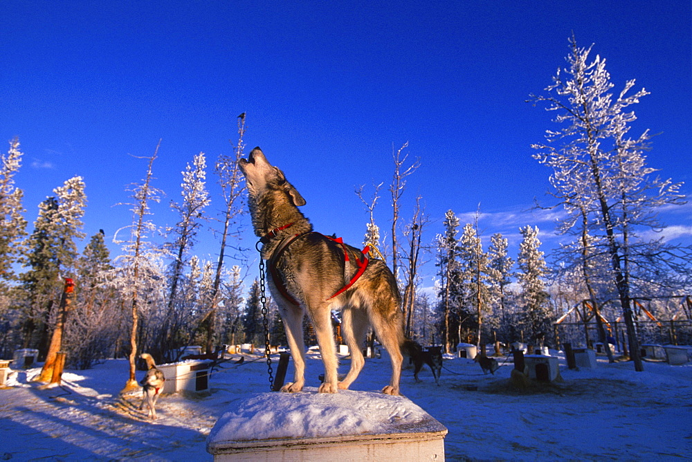Husky Dog Howling while Standing on top of his Dog House, Whitehorse, Yukon