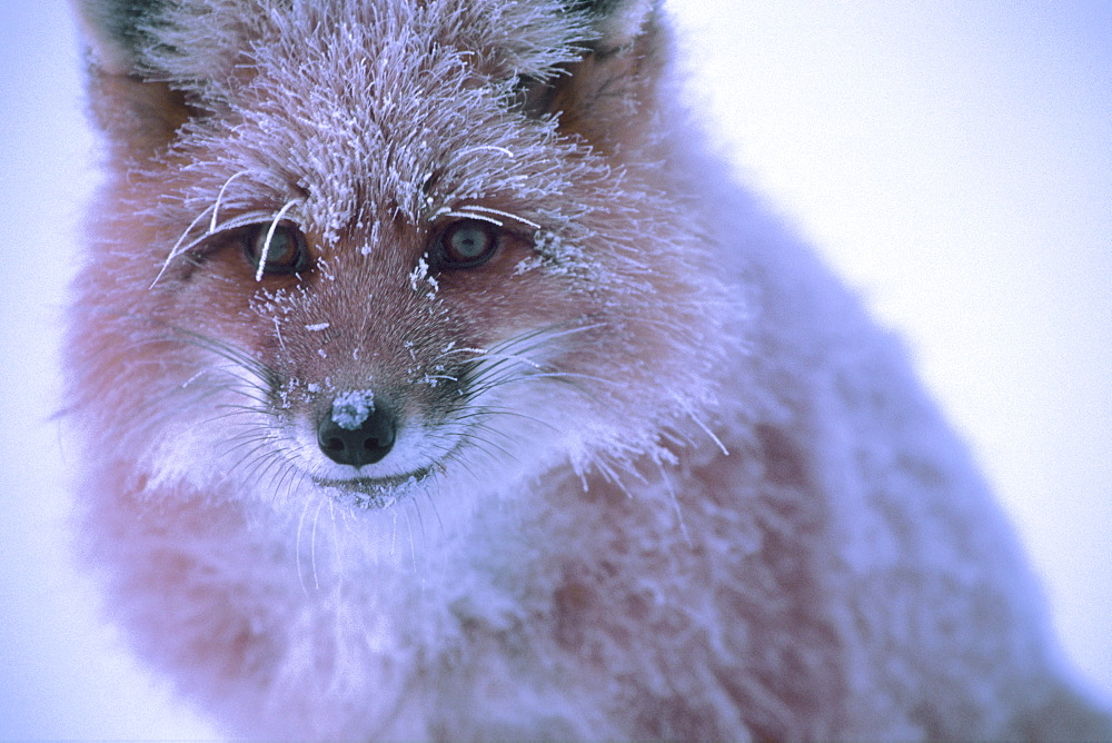 Close up of a Red Fox covered in Frost along the Dempster Highway, Dawson City, Yukon