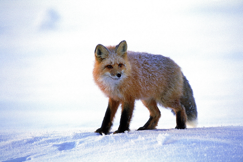 Red Fox covered in Frost along the Dempster Highway, Dawson City, Yukon
