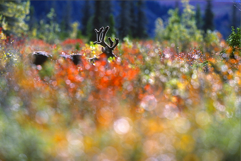 Woodland Caribou through Autumn Willows, Mayo, Yukon