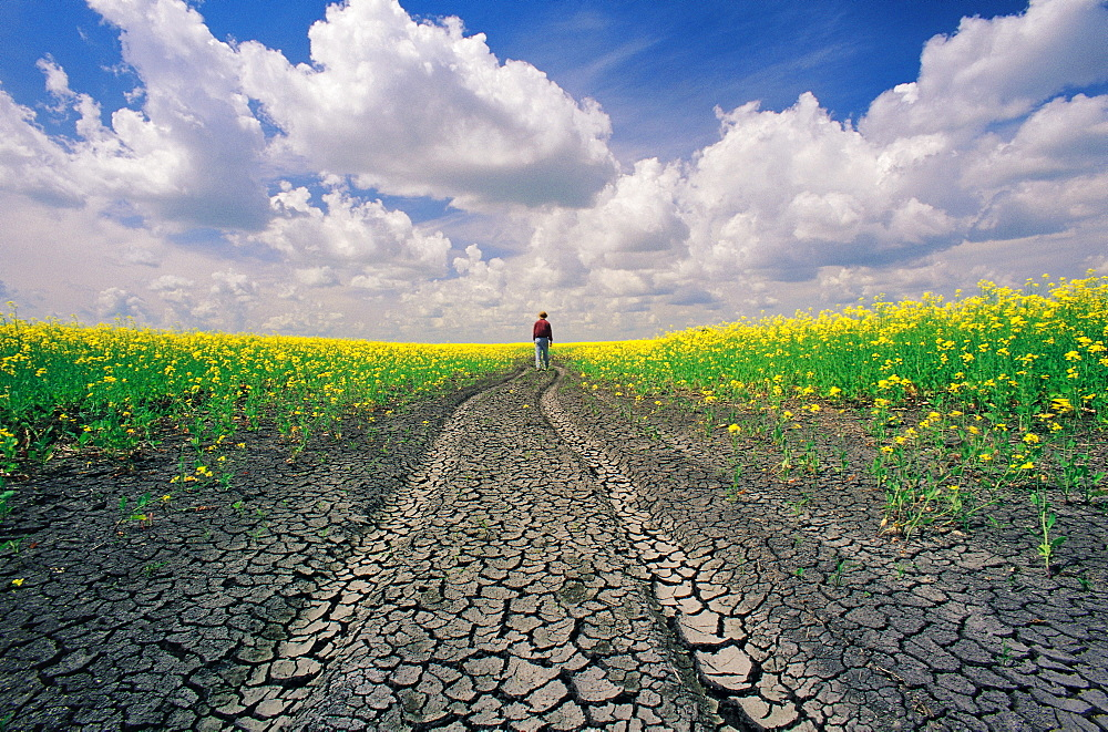 Man walking along Dried up Track with Canola Field on either side, near Winnipeg, Manitoba