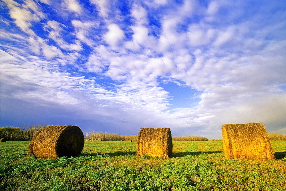 Alfalfa Rolls in a Field, near Winnipeg, Manitoba