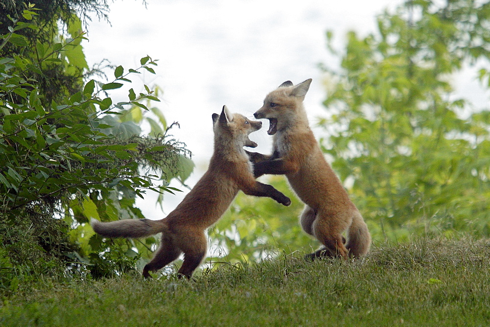Two Fox Pups Playing