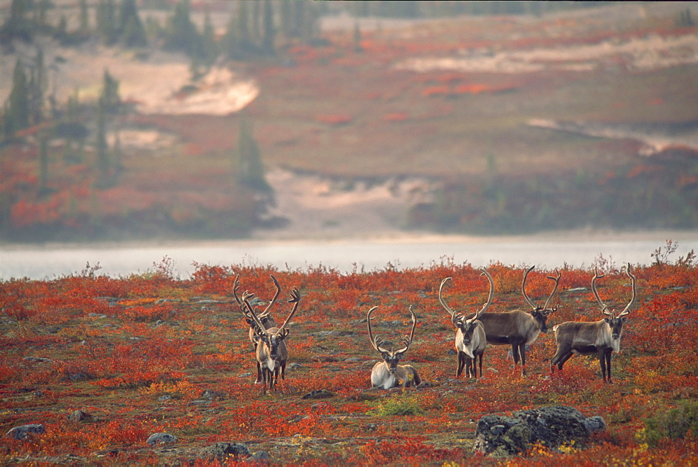 Barren-ground Caribou (Rangifer tarandus groenlandicus) on Autumn Tundra, Near Whitefish Lake, Northwest Territories