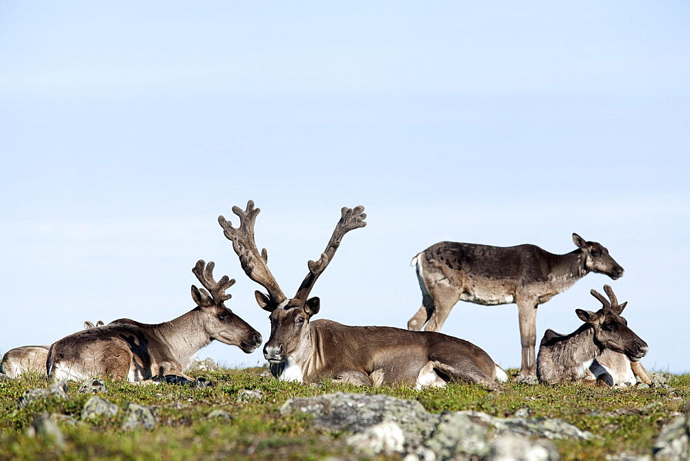 Group of caribou resting on alpine tundra, Mount Jacques Cartier, Gaspesie National Park, Quebec, Canada