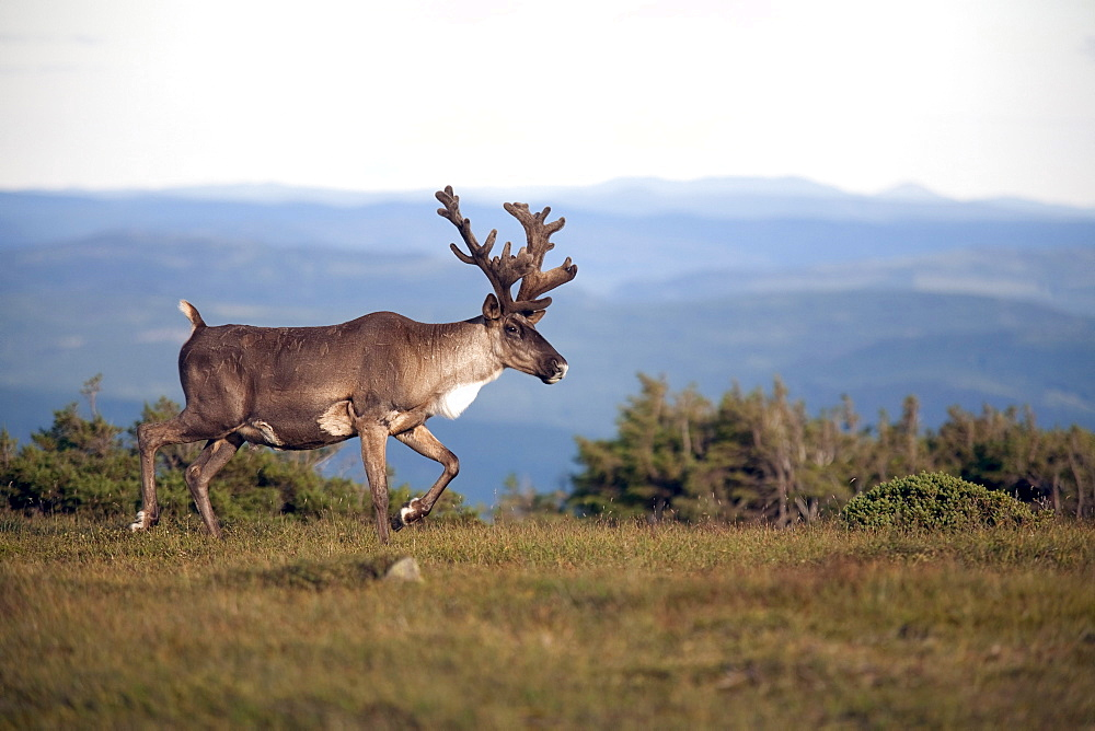 Male caribou on alpine tundra, Mount Jacques Cartier, Gaspesie National Park, Quebec, Canada