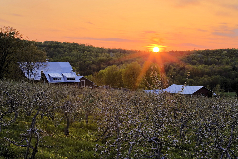 Apple Orchard in Bloom and Barn at Sunset, Eastern Townships, Frelighsburg, Quebec