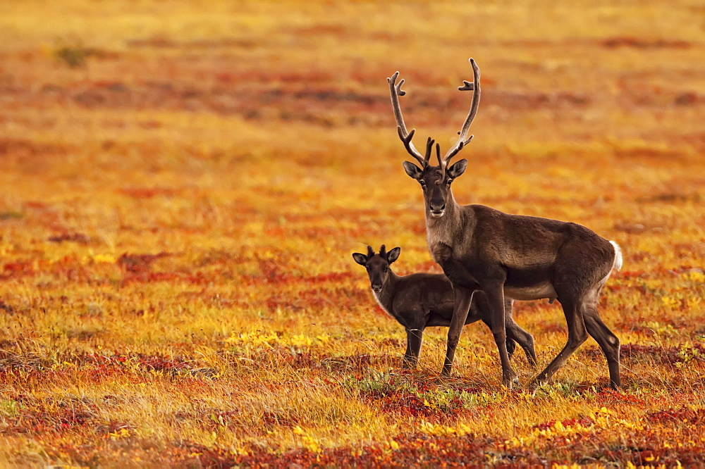Adult caribou with its young in the fall colours of the Dempster highway, Yukon