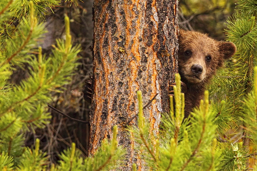 Grizzly bear cub up a tree, Yukon