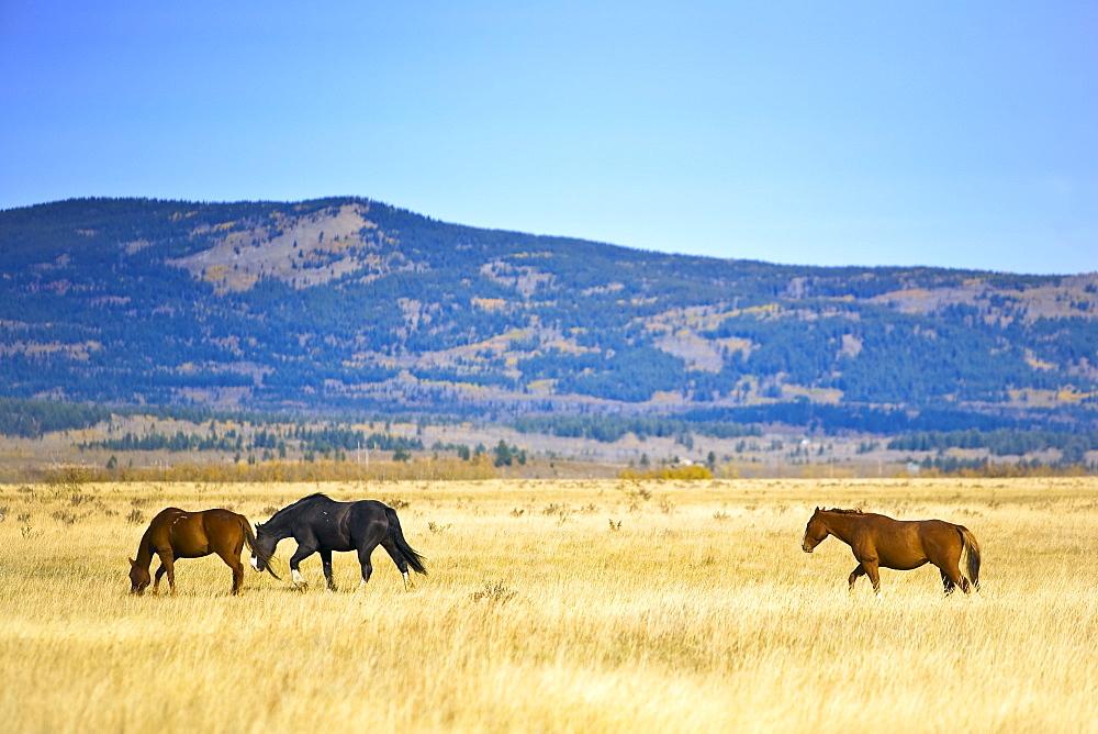 Horses in the foothills, Kananaskis Country, Alberta