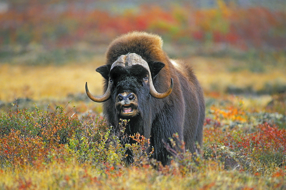 Tk0034, Thomas Kitchin; Muskox On Arctic Tundra. Northwest Territories, Canada. Autumn. Ovibos Moschatus.