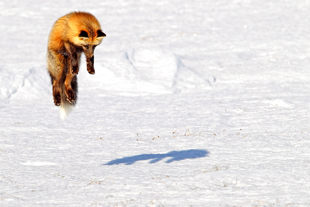 A cross fox leaps into the air while hunting for mice, Dempster Highway, Yukon, Canada