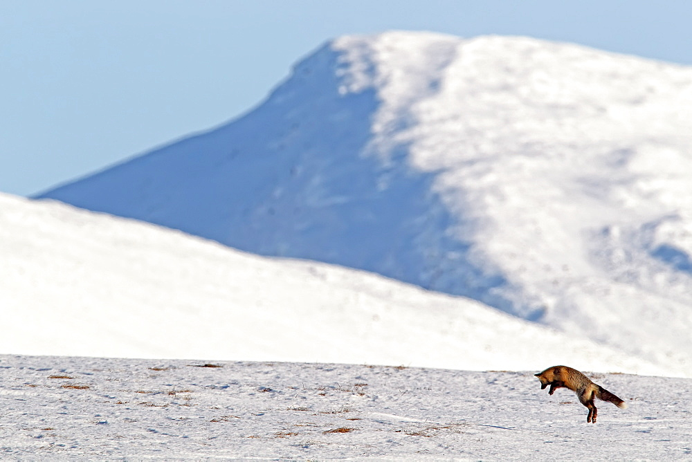 A cross fox leaps into the air hunting for mice, Dempster Highway, Yukon, Canada