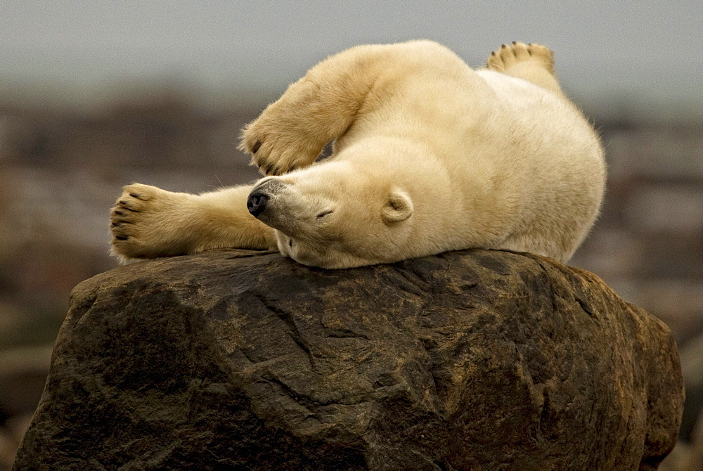 Polar bear laying on rock, Manitoba, Canada