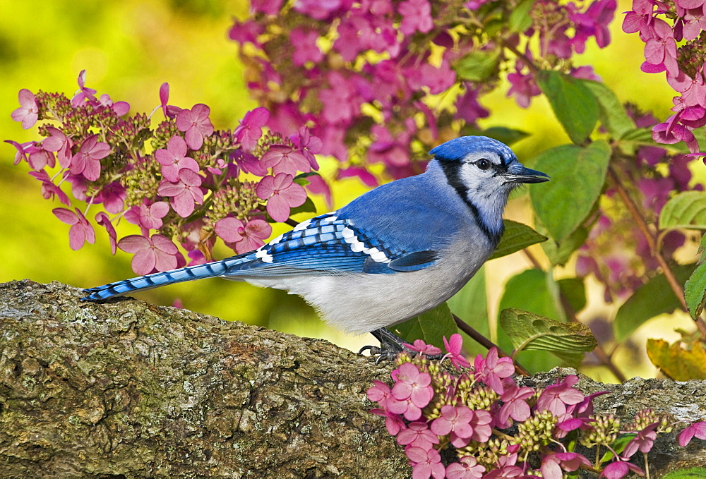 Blue Jay in backyard garden in autumn, Nova Scotia