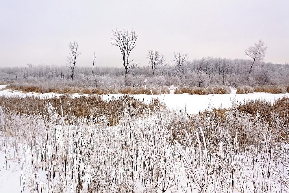 Wetland marsh on frosty winter day, Assiniboine Forest, Winnipeg, Manitoba